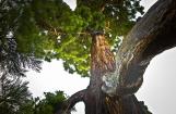 Sequoia géant planté en 1876