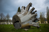 Chêne tricentenaire abattu lors de la tempête de 1999